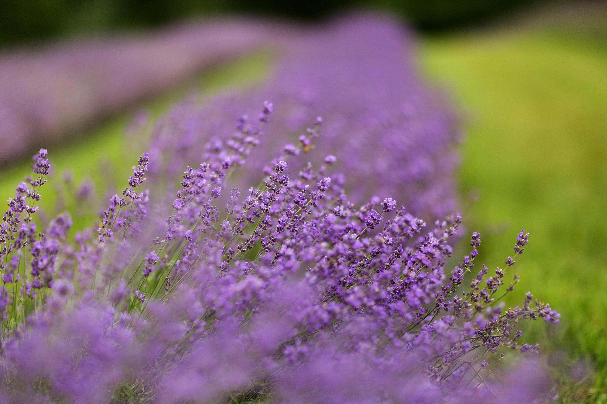 Lavender_Farm_Engagement_0006